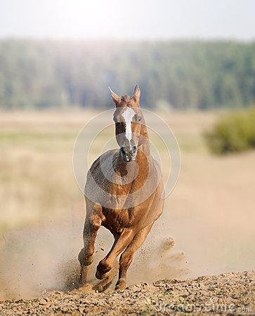 Wild Horse Running Fast Wild horse in dust