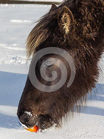 wild horse eating an apple in the snow stock image image