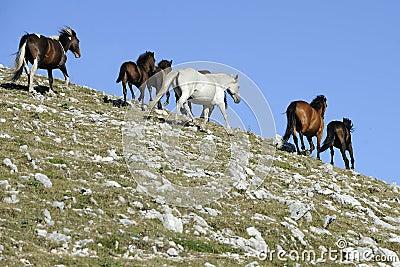 Wild Horse gallop