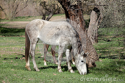 Wild Horse Grazing in Arizona