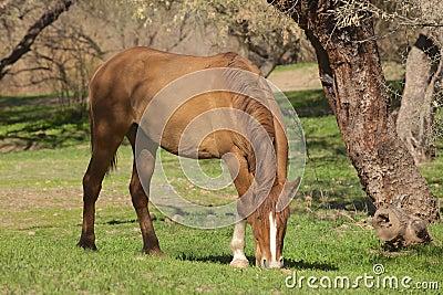 Wild Horse Grazing
