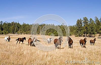 Wild Horse Herd