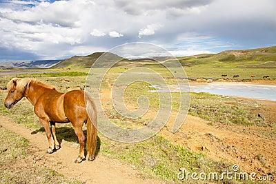 Wild horse - Iceland