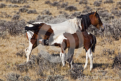 Wild horse mare and colt in Wyoming