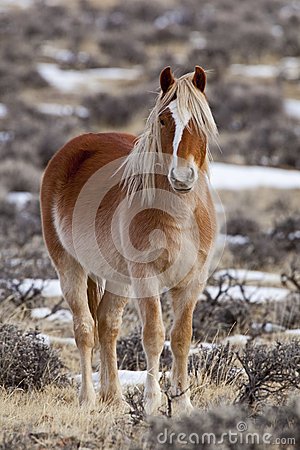 Wild horse mare in Wyoming