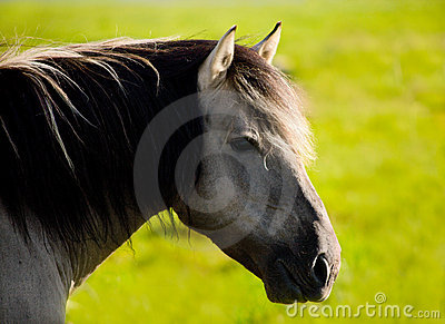 Wild horse (tarpan)