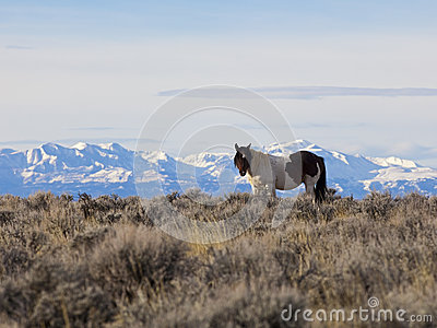 Wild horse in Wyoming high desert