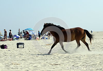WILD HORSES OF ASSATEAGUE ISLAND Editorial Photo