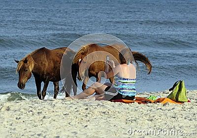 WILD HORSES OF ASSATEAGUE ISLAND Editorial Stock Photo