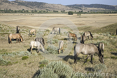 Wild horses at the Black Hills