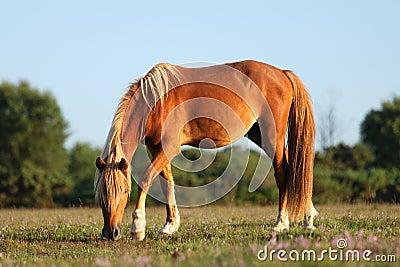 Wild horses feeding