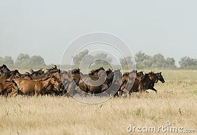 Wild Horses at a gallop