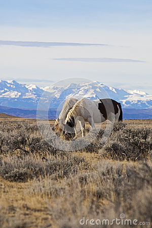 Wild horses grazing in Wyoming desert