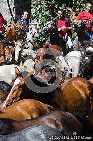 Wild horses Editorial Image