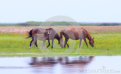 Wild horses on a meadow in summer