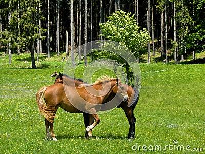 Wild horses in mountain