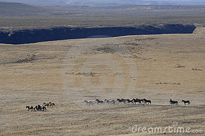 Wild horses running through sagebrush