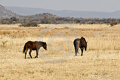 Wild horses on savannah