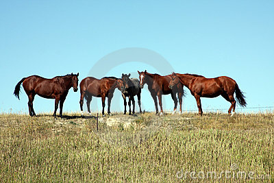 Wild Horses in South Dakota