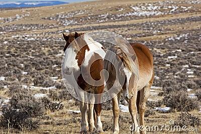Wild horses in Wyoming