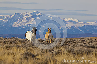 Wild horses in Wyoming with snow capped mountains