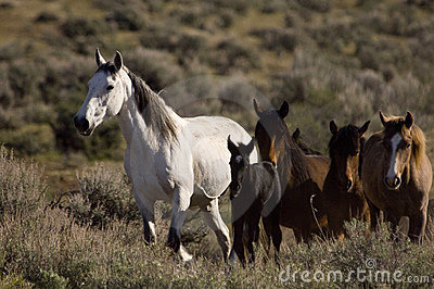 Wild horses and young colt