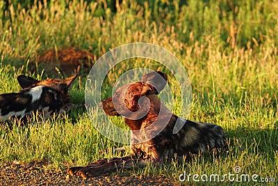 Wild hundkapplöpning