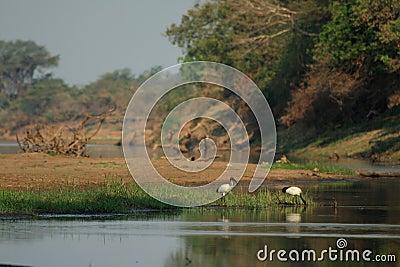 Wild ibis