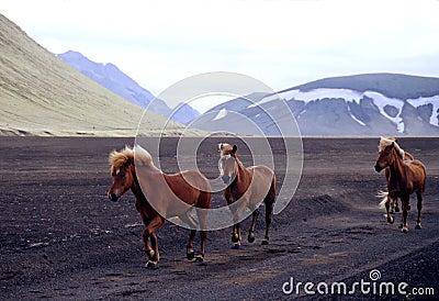 Wild Iclandic Horses