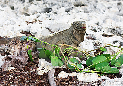 Wild iguana eats fresh leaves.