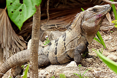 Wild iguana in wildlife