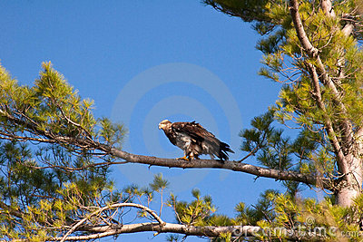Wild Immature Bald Eagle Perched in Tree