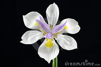 Wild Iris flower isolated