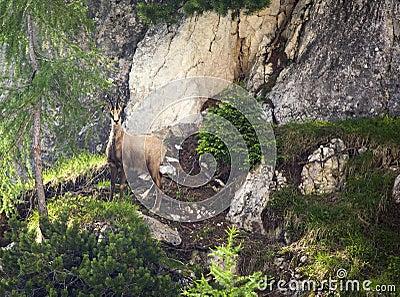 Wild Italian Deer