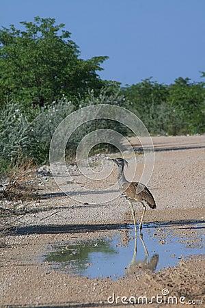 Wild kori bustard bird
