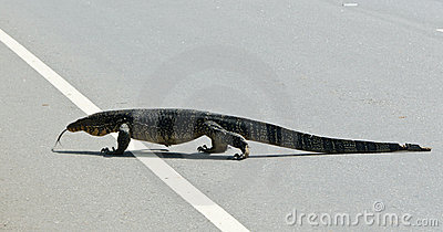 Wild large monitor lizard ( Ceylon ).