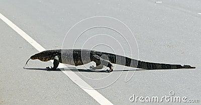 Wild large monitor lizard ( Ceylon ).