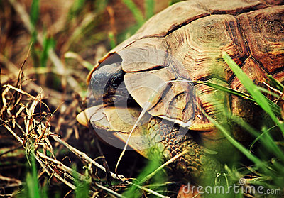 Wild Leopard tortoise close up, Tanzania Africa