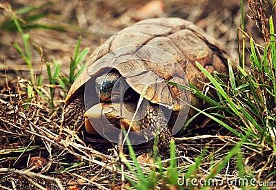 Wild Leopard tortoise close up, Tanzania Africa
