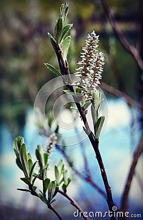 Free Wild Licorice Stock Photography - 73349432