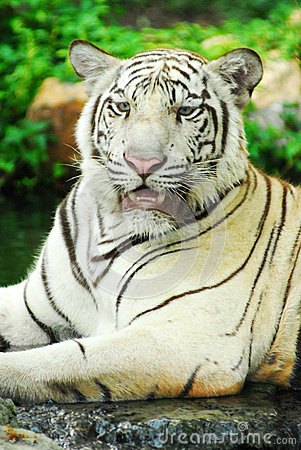 A wild life shot of a white tiger
