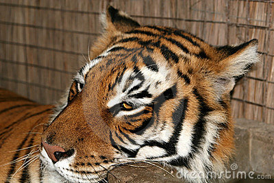 Wild life tiger