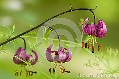 Wild lilium flowers