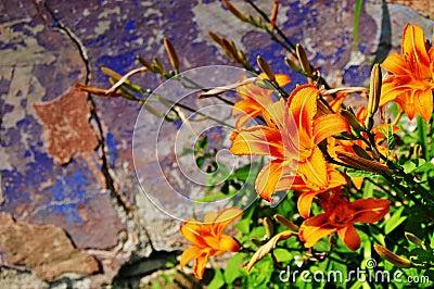 Wild lily flowers