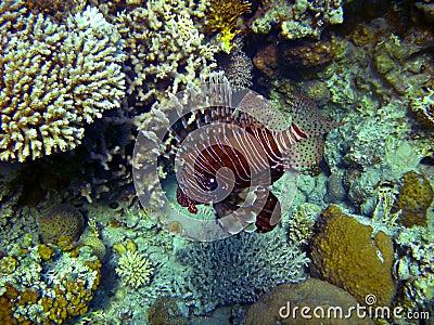Wild lion fish
