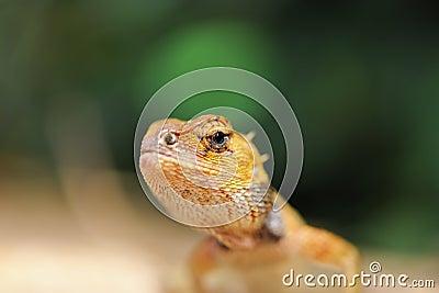 Wild lizard