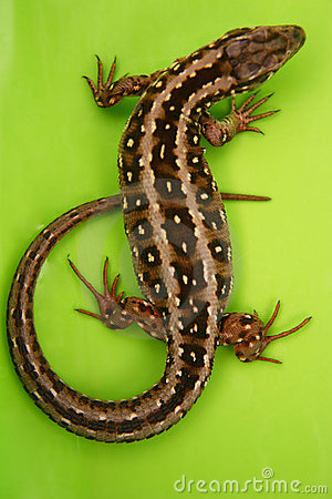 Free Wild Lizard Stock Photography - 3084432