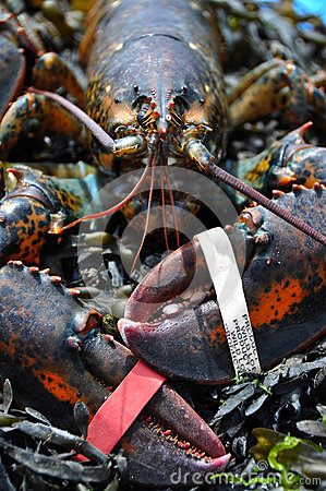 Wild Lobster
