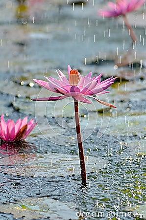 Wild Lotus Flower under rain