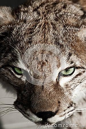 Wild Lynx Closeup